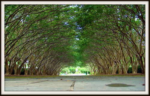 tree tunnel at arboretum