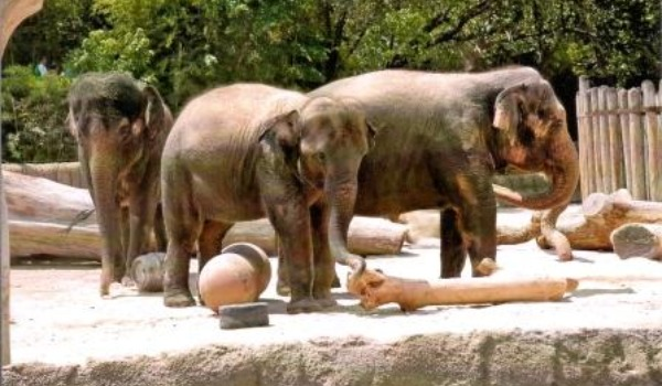 elephants at fort worth zoo