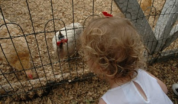 little girl looking at chickens in pen
