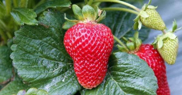 strawberry close up