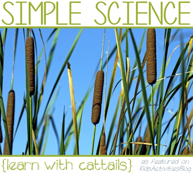 cattails - use them to study science with your kids