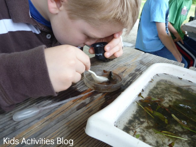 Studying water bugs and other insects found in pond life