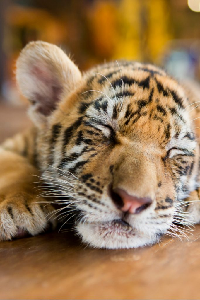 Baby Tigers taking a bath video - Kids Activities Blog
