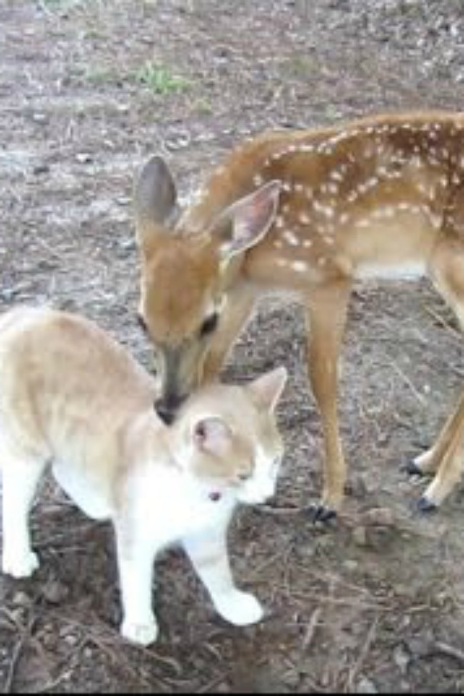 cat and deer friends