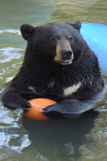 Bears Take a Swim in Backyard Pool Video from Kids Activities Blog