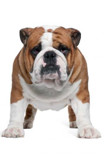 Bulldog will not go for a walk video - Kids Activities Blog