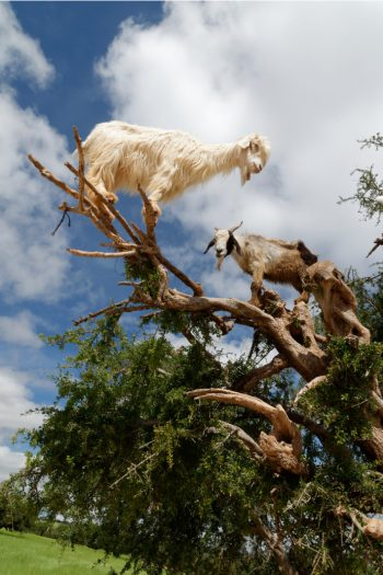 Goats Climb Trees Video - Kids Activities Blog
