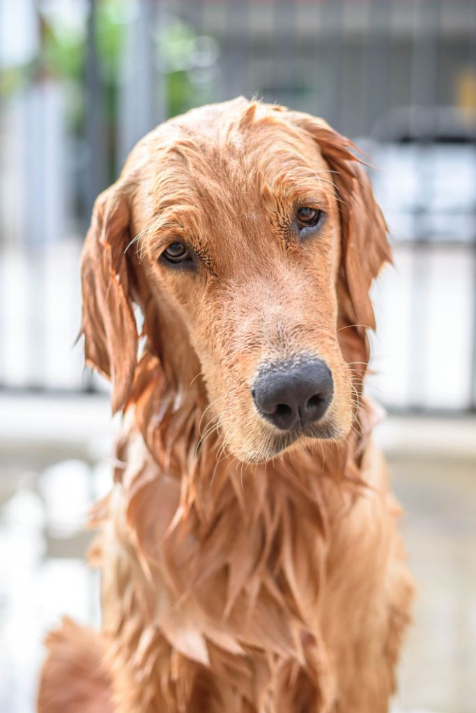 Golden Retriever dog takes a shower and bath every day