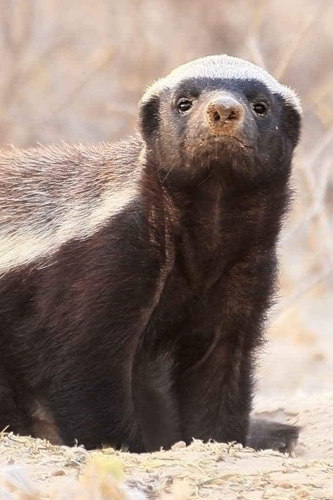 Honey Badger Escape from Enclosure - Funny video - Kids Activities blog - Honey Badger standing out on some sand