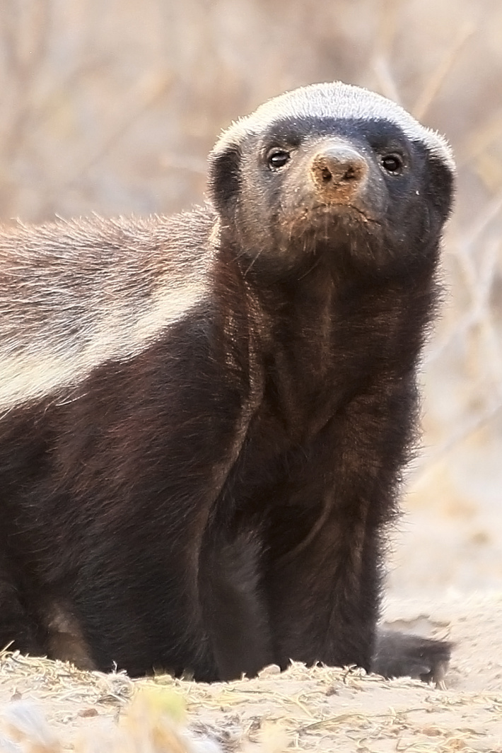 Honey Badger Houdini Finds Ways To Escape From Every Enclosure [Video]