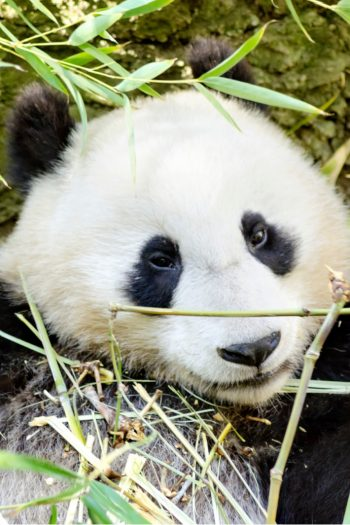 Panda Cubs Born at national Zoo -video