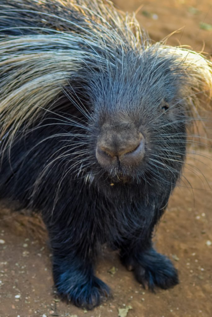 Talking Porcupine Video - Kids Activities Blog - porcupine looking at the camera