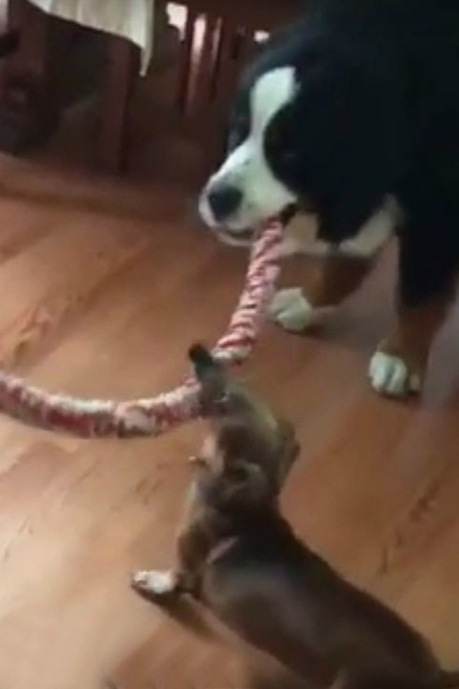 Tiny Dachshund Wins Epic Tug-Of-War Against Huge Mountain Dogs!