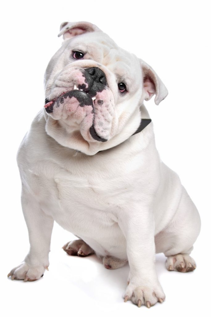 Bulldog does not want to wear life jacket video - Kids Activities Blog