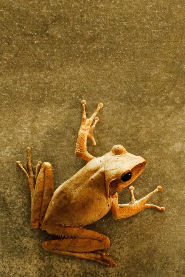 This Angry Squeaking Frog Will Kill You…With Its Cute Battlecry! [Video]