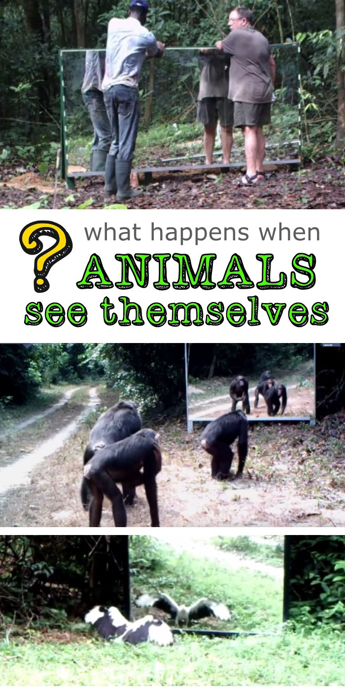 what happens when animals see themselves