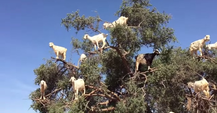 goats-in-tree.jpg