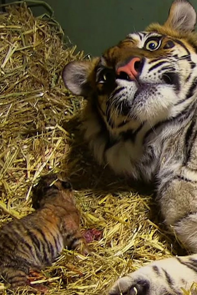 Waiting For April The Giraffe? Here's A Tiger Giving Birth To Twins Instead!