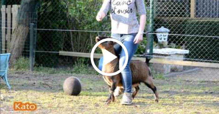 training goats