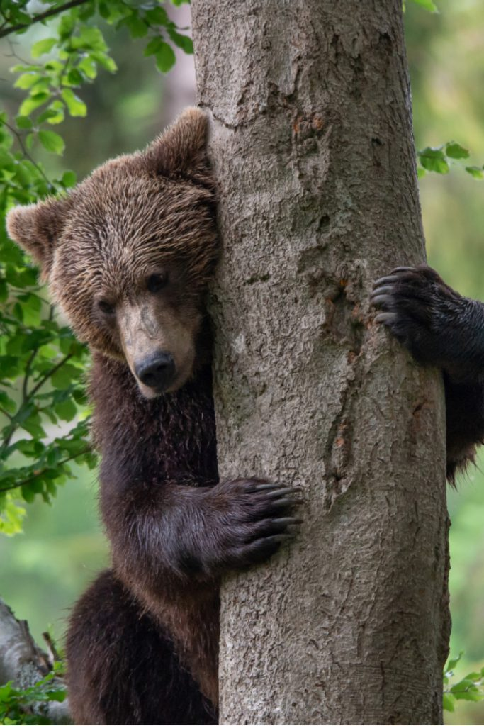 Hikers Run Into Bear on Trail in Woods and Try to Shoo Him Away Video - Kids Activities Blog - bear hugging tree
