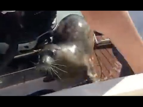 This Baby Seal Narrowly Escapes Attack By Jumping Onto A Boat!