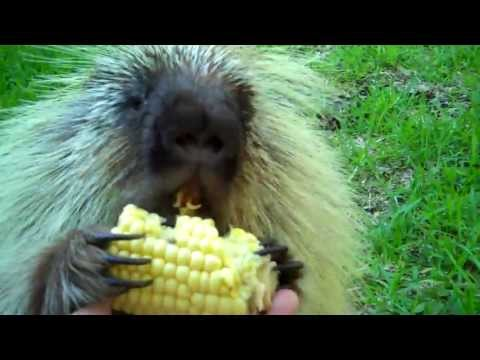 This Talking Porcupine Does NOT Like To Share Corn!