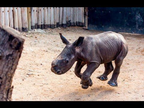 This Baby Rhino Comes Running For The Cutest Reason!