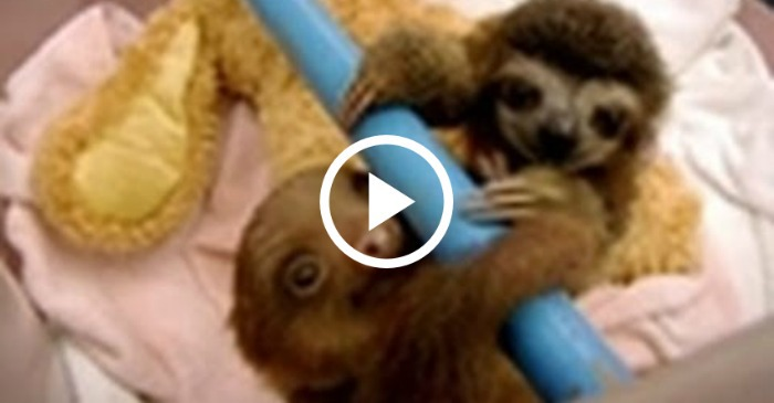 baby-sloths