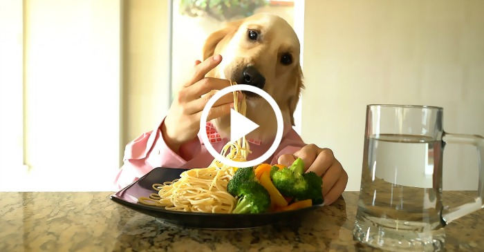chef dog eating