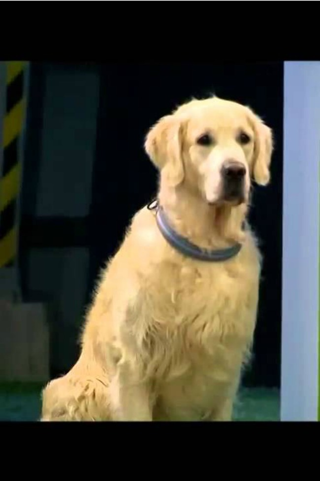This Golden Retriever Hilariously Fails Obedience School