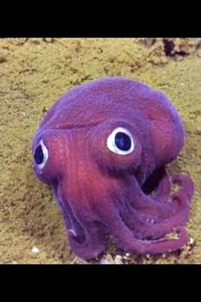 google eyed squid