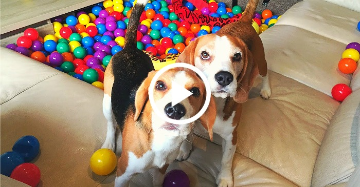 puppy homemade ball pit