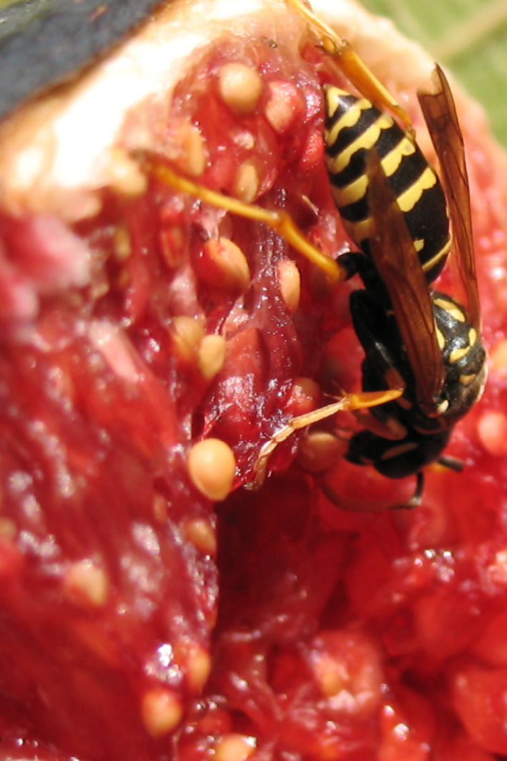 Are There Dead Wasps In Figs? We Have the Fig Wasp Story & Video