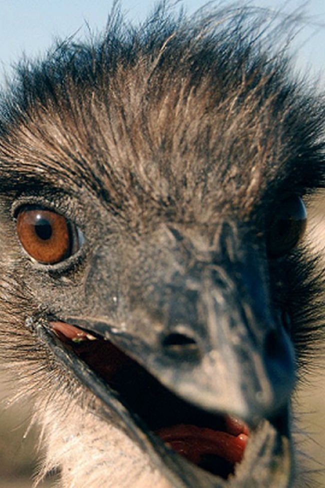 This Emu vs. Weasel Ball Tango Is The Video You Never Knew You Always Needed To See