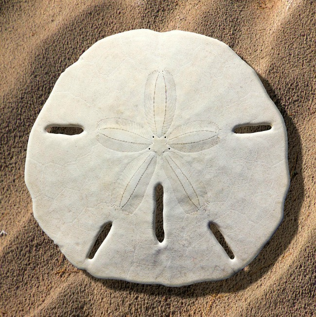 Living Sand Dollars Are Beautiful On Top And Horrifying On The Bottom