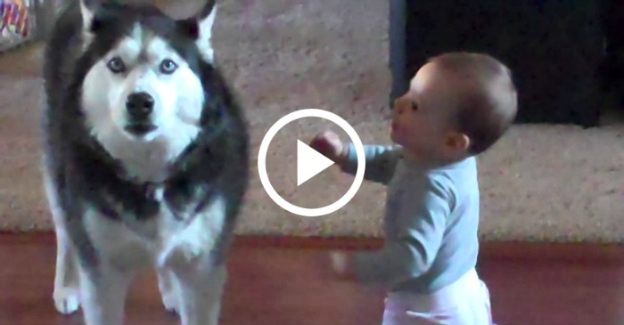 husky-howling-along-with-baby
