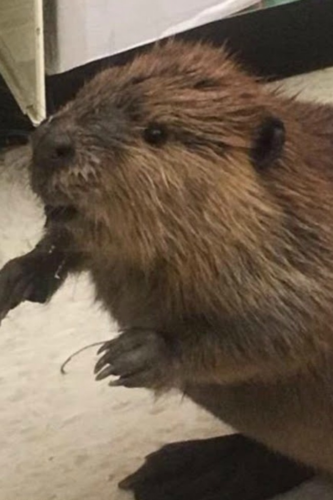 This Beaver Was Spotted Shopping For An Artificial Christmas Tree At Dollar General…