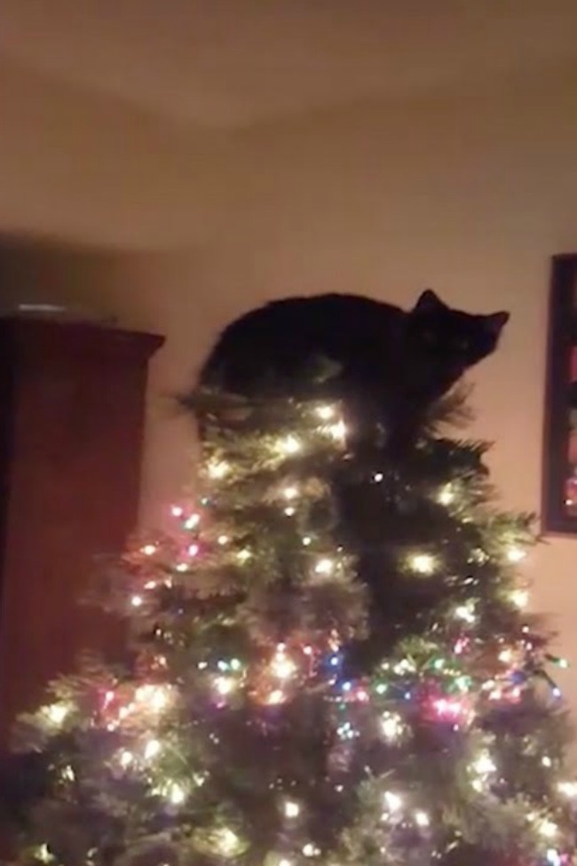 This Kitty Decided To Become A Tree Topper!