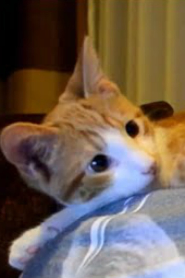 This Kitten Couldn't Be More In Love With His Human!