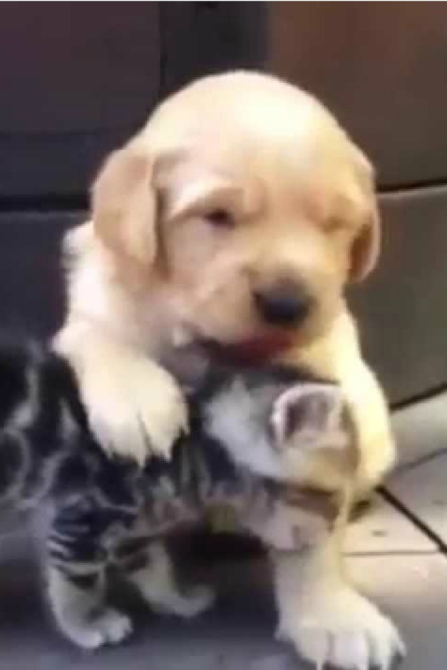 Kitten And Golden Retriever Puppy Love Each Other From First Lick