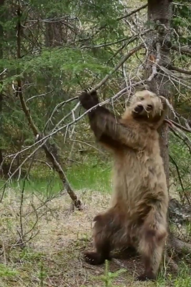 Bears Dancing To 'Jungle Boogie' Is The Best Thing Ever!
