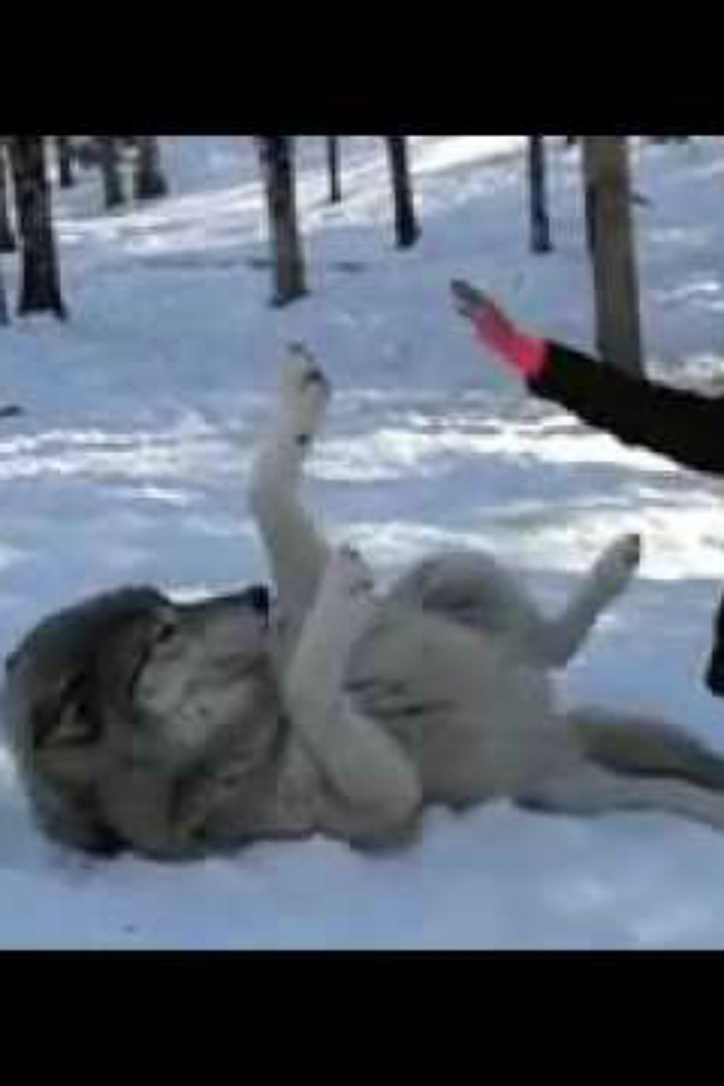 GIGANTIC Wolf Just Wants To Be Loved