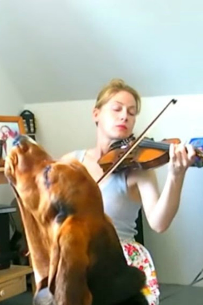 Basset Hound Sings Along As Owner Practices The Violin