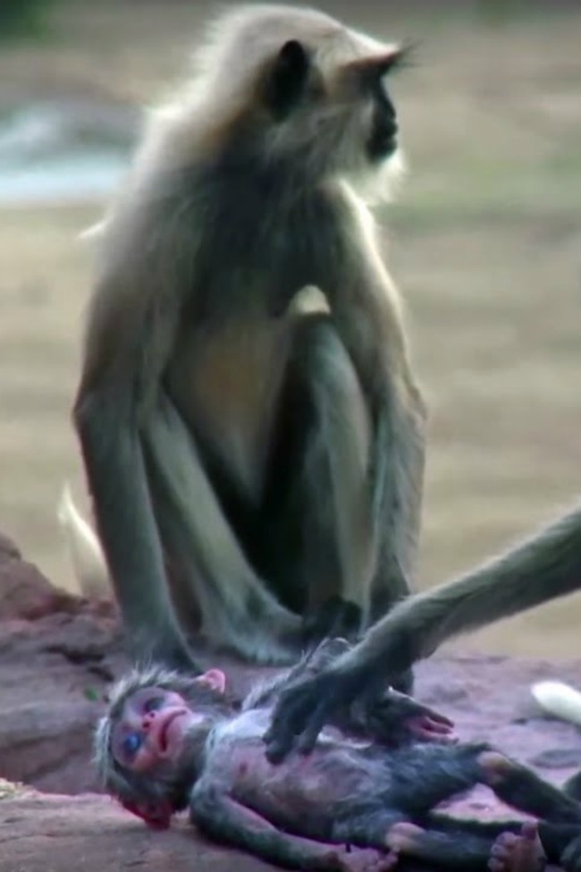 These Monkeys Mourning Will Break Your Heart!