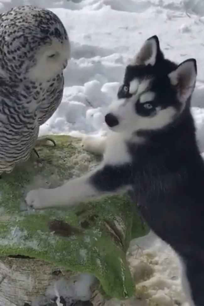 This Husky Puppy And This Owl Are Best Friends (The Even Kiss!)