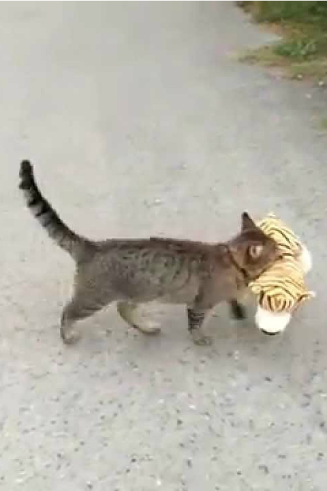 This Cat Steals A Stuffed Tiger From The Neighbor Every Single Day