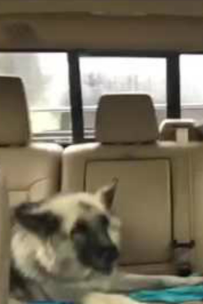 Dog Loves To Sing Along To One Certain Song During Road Trip