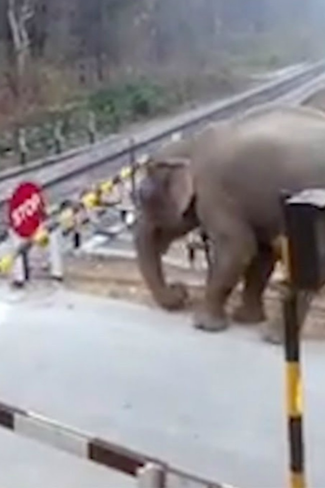 Determined Elephant Lifts Barrier To Cross Train Tracks