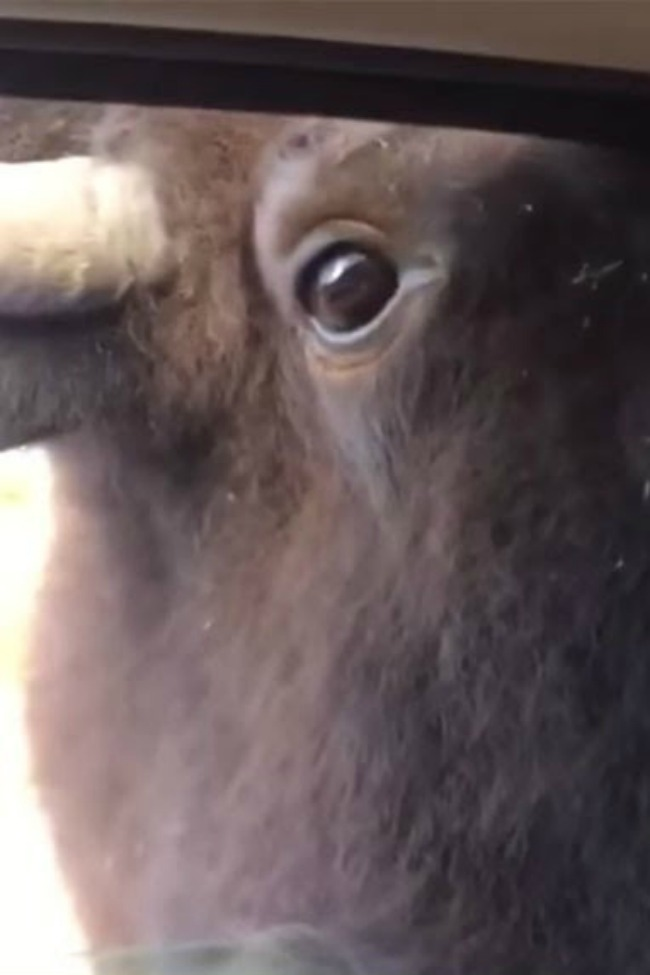 Girl Freaks Out When Animals Try To Get Into Car At Animal Park