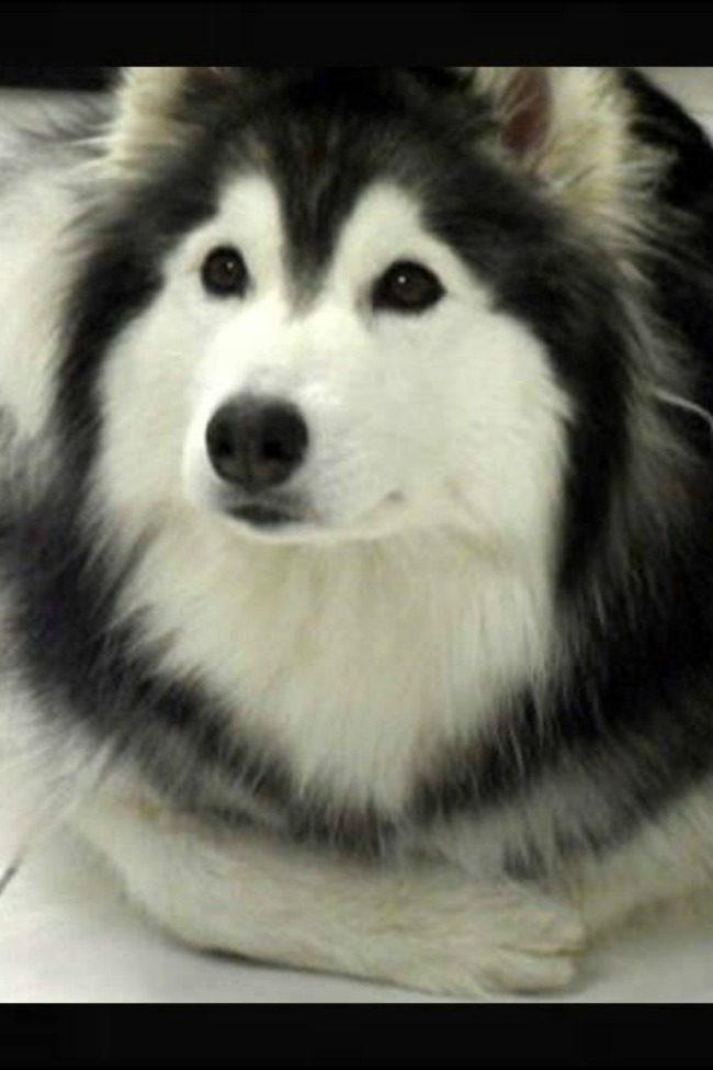 Adorable Husky Raised By Cats, Thinks He's A Cat